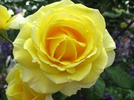 Rose2009