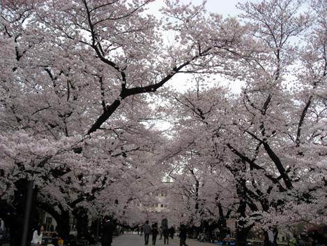 Sakura20112