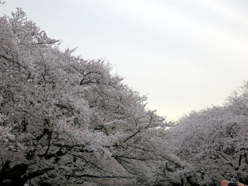 Sakura201301