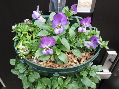 Pansy201412_8