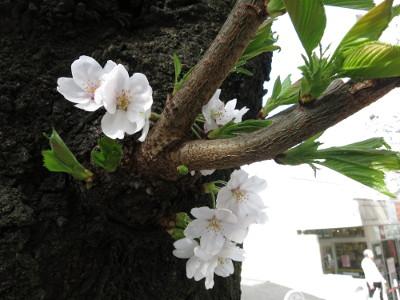 Sakura201503