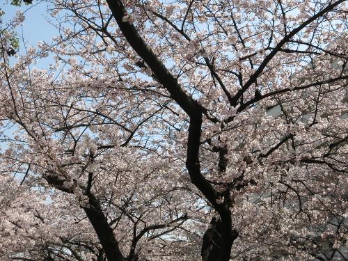 Sakura201602