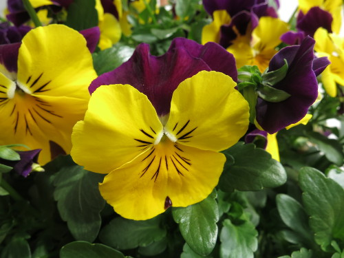 Pansy201604