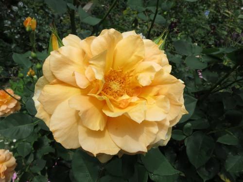 Rose201604
