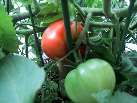 Tomato79