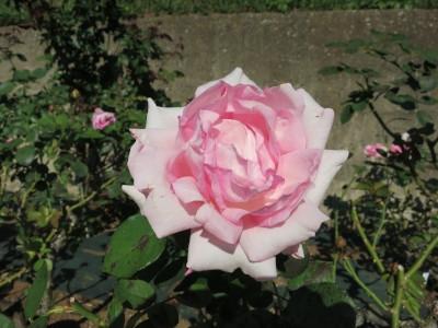 Rose201901