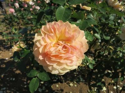 Rose201904