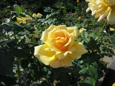 Rose201905