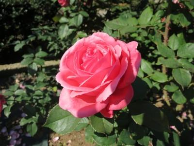 Rose201906