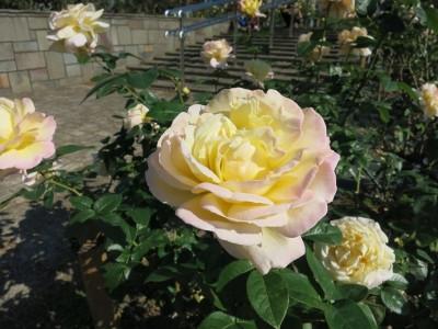 Rose201907